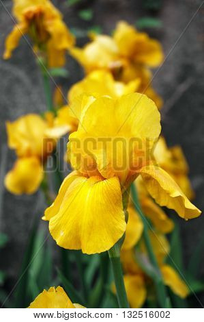 A large yellow iris in the spring garden