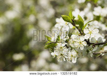 Blooming Plum Sunlit