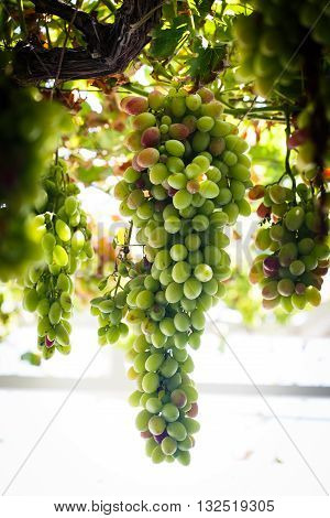 Bunch of green grapes on the vine