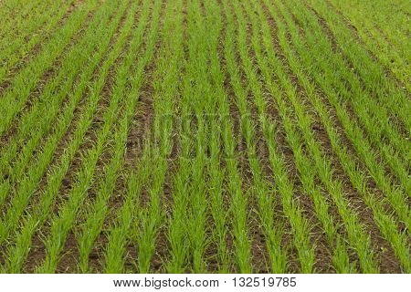 Farm field sown cereals, natural light, landscape