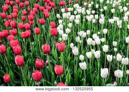 Tulip festival in Ottawa Canada in whitered and green