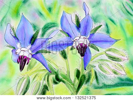 Original pen and ink and pastel painting of two blue Borage flowers. (Borago officinalis)