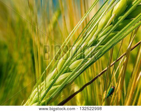 Green Spike Wheat