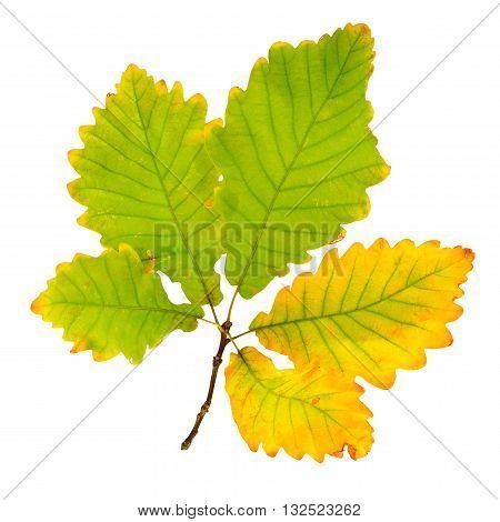 Autumn oak leaf isolated on white background