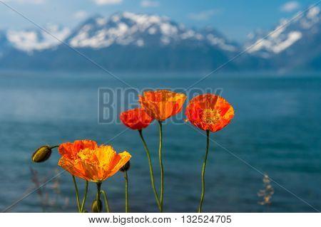 Northern Norway orange flowers against the background of Norwegian Tromsofjord