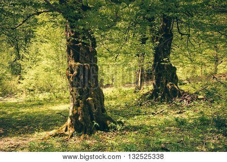 Trees Carpinus Betulus. Caucasus, Abkhazia.