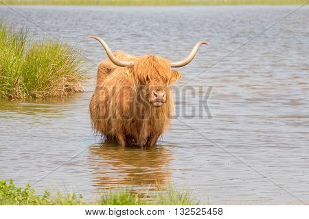 Scottish highlander in nature Lentevreugd Wassenaar Netherlands.