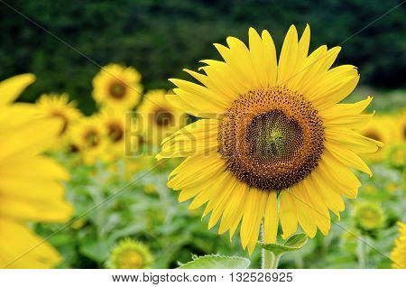 Many yellow flower of the Sunflower or Helianthus Annuus blooming in the field