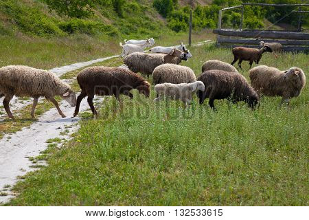 sheep and goats graze in the field and on the road