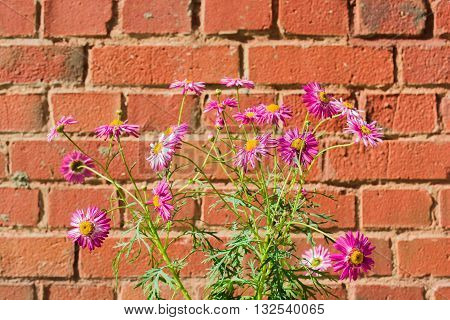 pink chamomile flowers Pyrethrum Daisy on red brick background outdoor