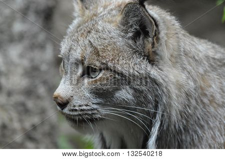 Close up of an adult Canada Lynx