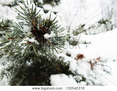 Beauty of winter nature, spruce branch under the snow. Spruce branch covered with snow.