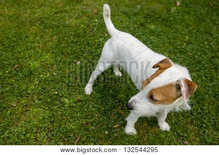 Jack Russell Parson Terrier on green grass lawn