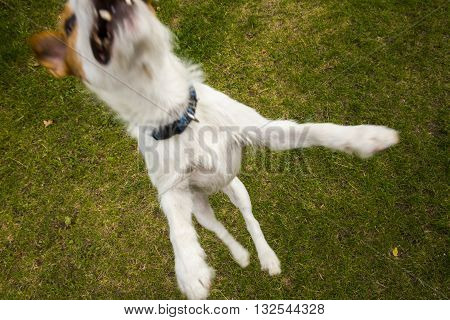 Jack Russell Parson Terrier dog jumping high