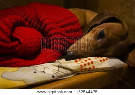 Smooth-haired brown dachshund lays with the red scarf. Sad dog.