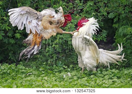 two cocks white and red fight on the farm