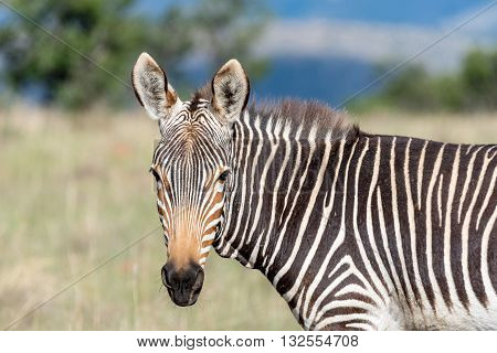 A mountain zebra Equus zebra zebra looking towards the camera near Cradock in South Africa