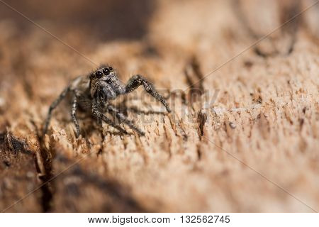 Zebra spider (Salticus scenicus) eyes and palps. Distinctive jumping spider in the family Salticidae with arrangement of eyes visible. On bark of tree