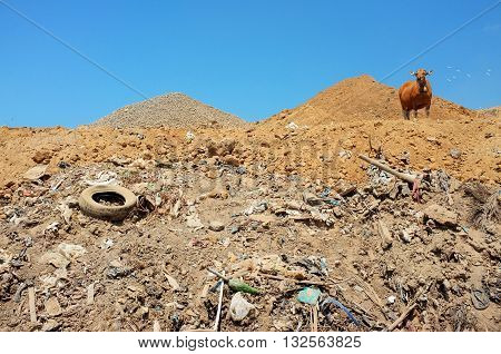 A cow scavenges for food amid plastic bags garbage hazardous household waste and toxic trash at the biggest and most polluted landfill site on the holiday resort island of Bali Indonesia.