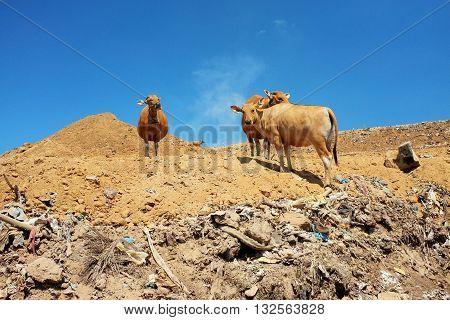 A herd of cows scavenge for food amid hazardous waste and toxic trash at the biggest and most polluted landfill site on the holiday resort island of Bali Indonesia.