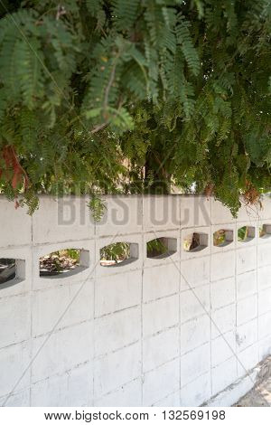 Acacia trees leafage overhanging a white concrete fence on a sunny day. Green and white background with copy space. Shallow focus on the foliage