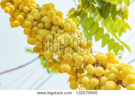 Ripe star gooseberry tree in fruit garden.