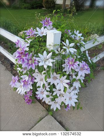 big purple and white clematis flowers cluster on a white fence  in this vertical corner composition