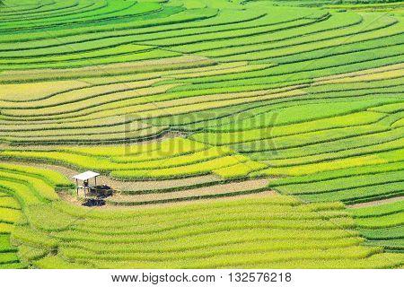 Rice fields on terraced at Tu Le Village, Yen Bai, Vietnam. Rice fields prepare the harvest at Northwest Vietnam
