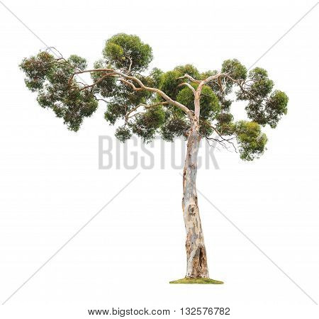 Green beautiful old and big eucalyptus tree with asymmetric crown isolated on white background