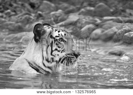 Beautiful Royal Bengal Tiger Panthera Tigris bathing in water. It is largest cat species and endangered only found in Sundarban mangrove forest of India and Bangladesh. Black and white image.