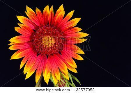 Indian Blanket (Gaillardia pulchella) or Firewheel wildflower full front isolated against black background