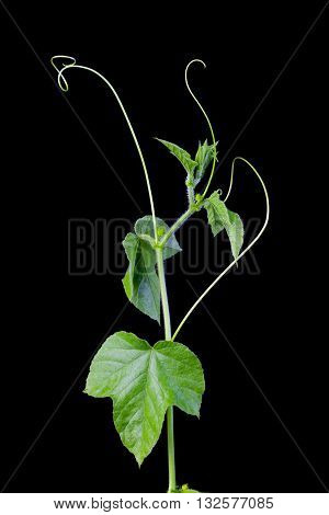 Cucumber is widely cultivated plant in gourd family Cucurbitaceae. Vine with fruits varying degree of maturity fading yellow flowers lush foliage curled tendrils. Closeup isolated on black backdrop