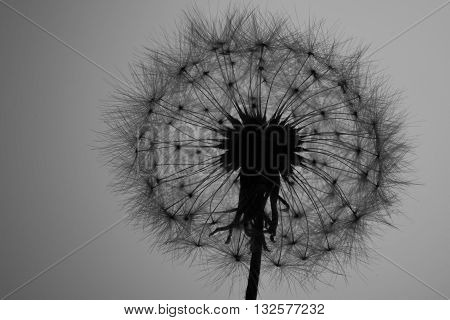 Dandelion Seed head (Taraxacum officinale) silhouette white Backgrond
