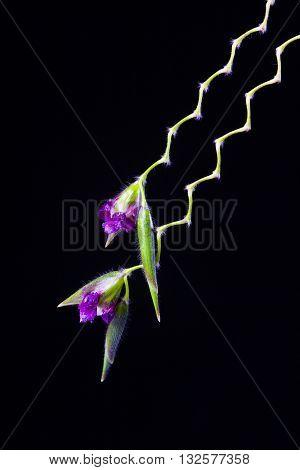lose up of Thalia dealbata J.fraser. flower