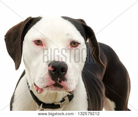 Brown and white american pit bull terrier with brown eyes red sclera of eyes from cold virus emaciated after being abandoned