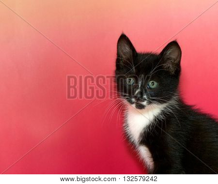 Black and white tuxedo tabby cat portrait of on pink textured background with copy space to side