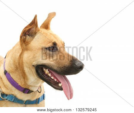 Profile portrait of one young German Shepherd dog isolated on white background