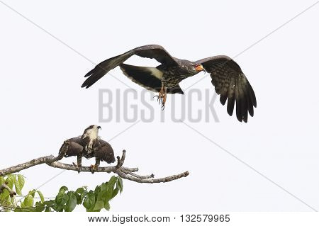 Juvenile Male Snail Kite In Flight With Female In Background