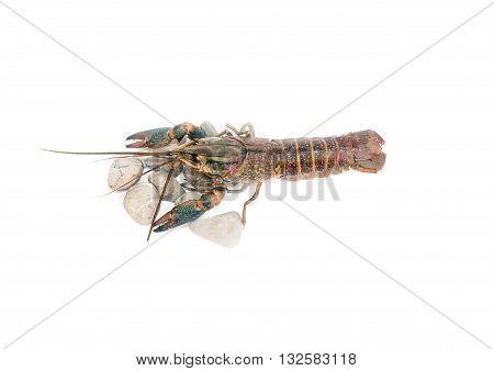 Australian blue crayfish Cherax quadricarinatus Cherax uadricarinatus on the stone On a white background isolated