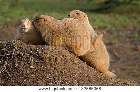 three black-tailed prairie dog at the burrow