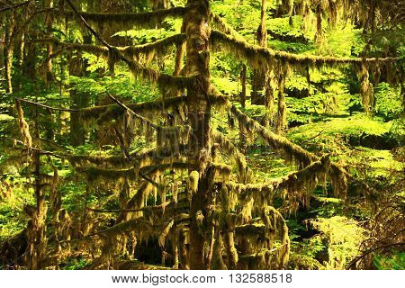 a picture of an exterior Pacific Northwest young mossy hemlock tree in rainforest