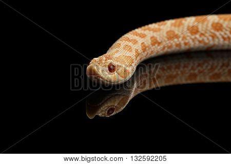 Closeup Pink pastel Albino Western Hognose Snake Heterodon nasicus isolated on black background