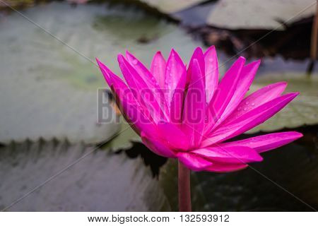 Beautiful pink lotus flower in the lake stock photo