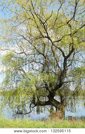 big old willow with crooked branches growing on the bank of a pond