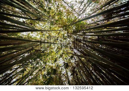 Looking up at bamboo trees leaning in towards each other.