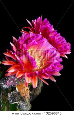 An Echinopsis Hybrid, Trichocereus Hybrid commonly known as a Flying Saucer. Two, pink, night blooming, cactus flowers against a black, night sky.  Shriveled remains of previous blooms are below the current blooms.