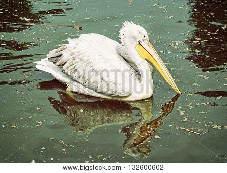 Great white pelican - Pelecanus onocrotalus - is reflected on the shimmering lake. Big bird. Animal scene. Beauty in nature. Bird portrait.