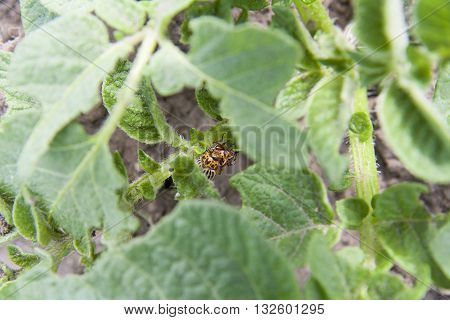 Two Colorado Beetles (potato Beetle) Sitting On Potato Leaves.