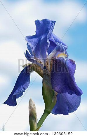 Beautiful blue iris flower background. Blue iris flower.