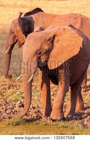 Wild African Elephant Drinking At A Waterhole